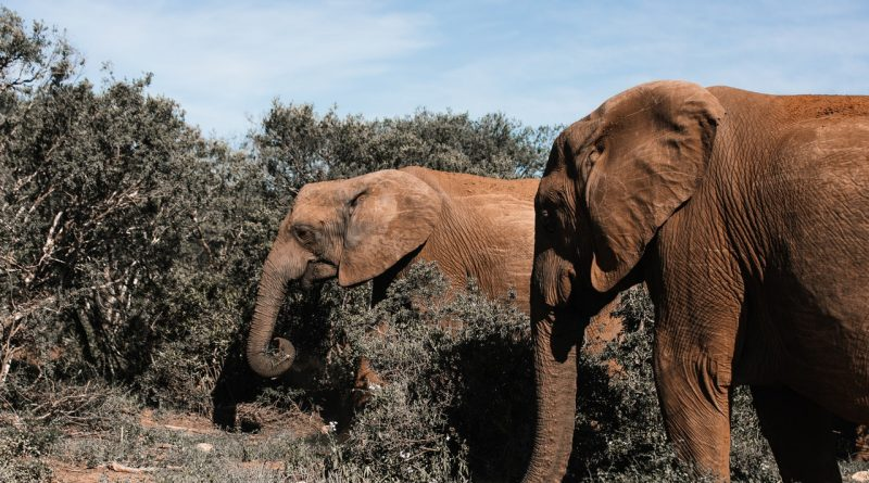 Eléphants du Cameroun